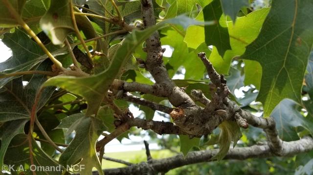 Oak twigs with galls