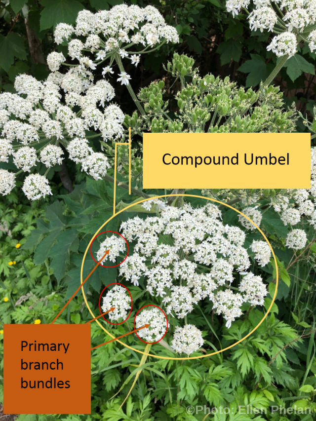 Cow parsnip branch bundles and umbel