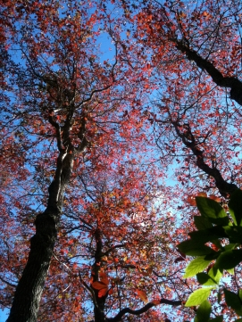 Looking up into the Tupelo trees at Medouie Creek. Photo Credit: Iris Clearwater
