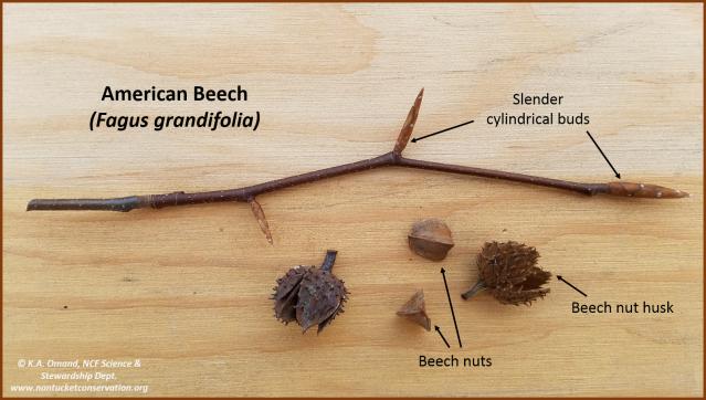 beech twig & nuts