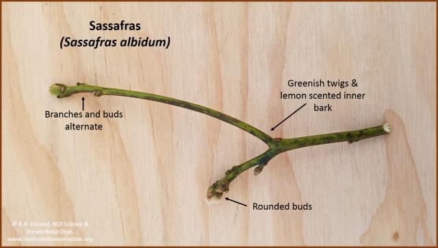 sassafras buds & twigs