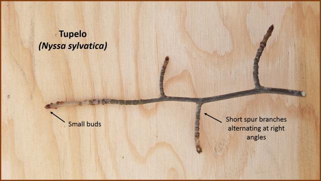 tupelo twig & buds