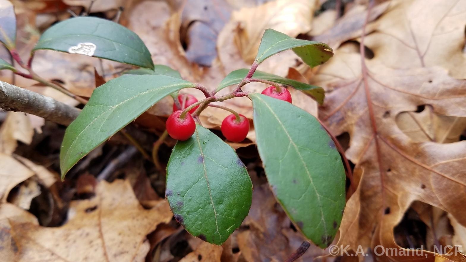 winterberrywbarnstable,kaoc